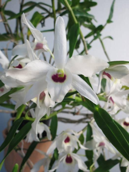 Dendrobium_Cassiope_kukka_pien_OP_IMG_9100.jpg