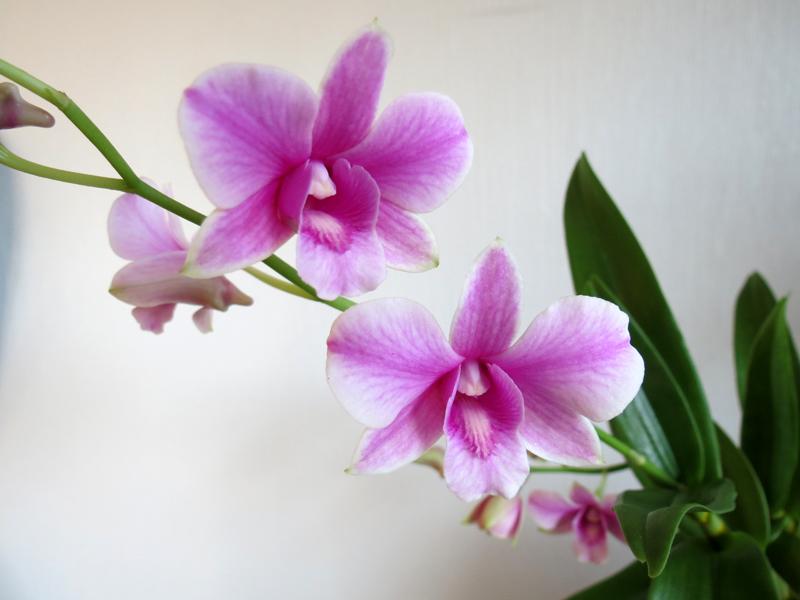 Dendrobium_Bauhaus_OP_pien_IMG_9179.jpg