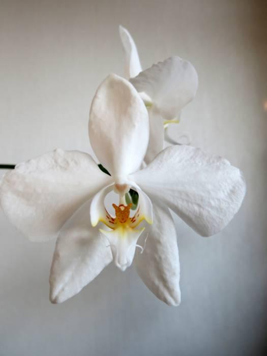 Phalaenopsis_amabilis_Maluku_pien_OP_IMG_9189.jpg