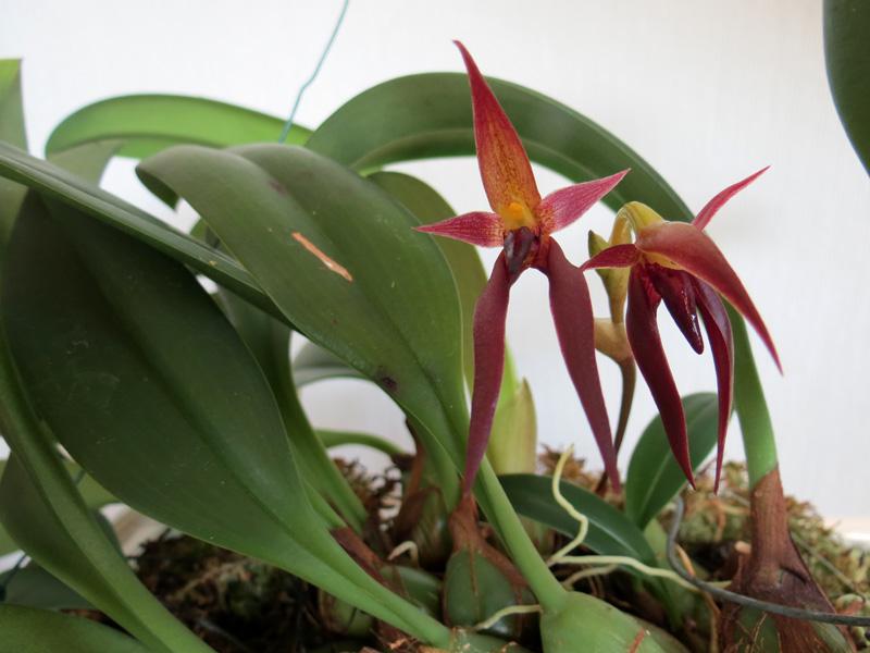 Bulbophyllum_nymphopolitanum_koko_pien_OP_IMG_9462.jpg