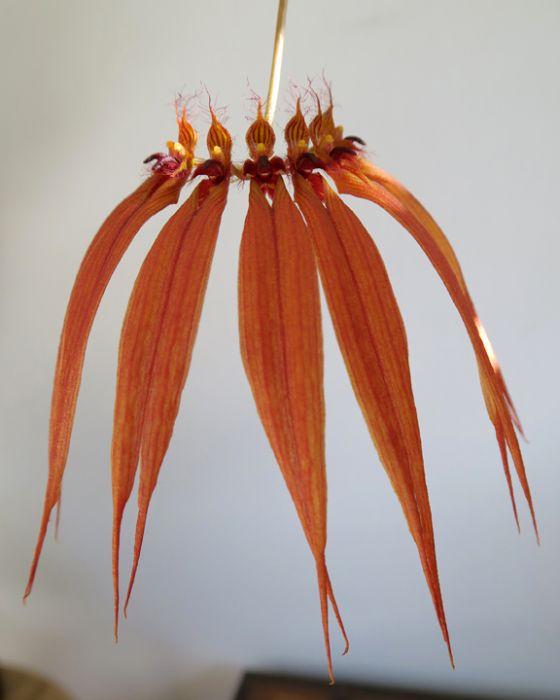 Bulbophyllum_CopperQueen_OP_X_72_IMG_0112.jpg