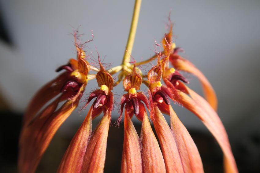 Bulbophyllum_CopperQueen_X_OP_72_IMG_0110.jpg