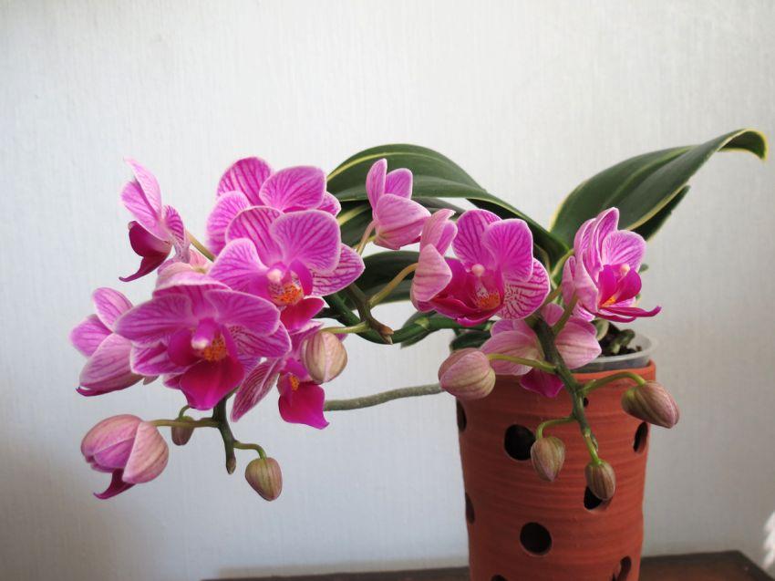 Phalaenopsis_Sogo_Vivien_variegata_OP_72_IMG_9735.jpg