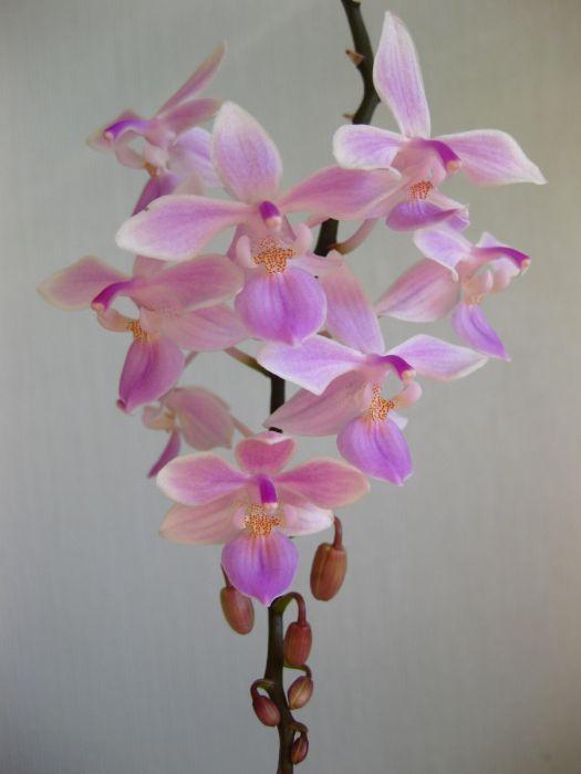 Phalaenopsis_Venus_equestris-x-lindenii_OP_72_IMG_9256.jpg