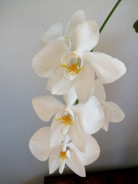 Phalaenopsis_amabilis_moluccana_OP_72_IMG_9919.jpg