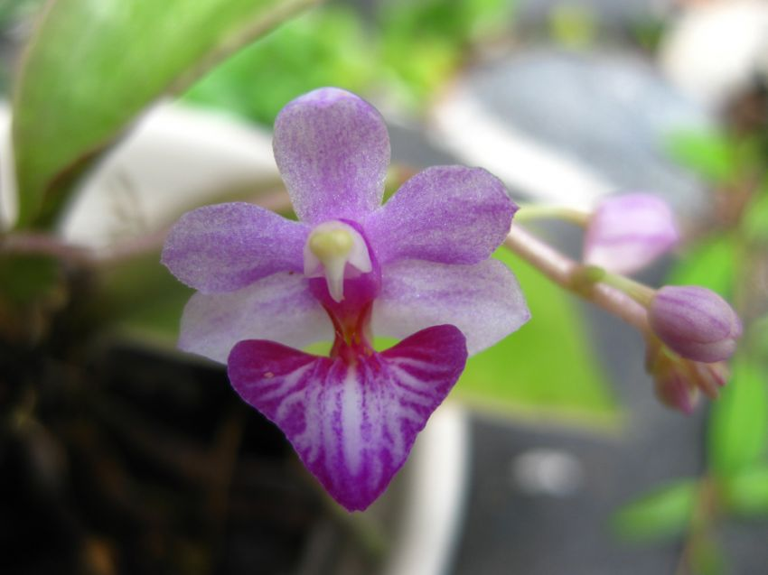 Phalaenopsis_San_Shia_Appendo_appendiculata-x-pulcherrima_pien_OP_IMG_9679.jpg
