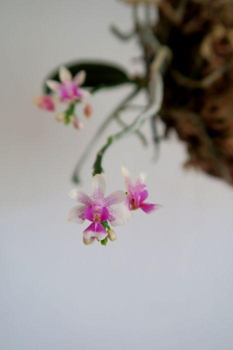 Phalaenopsis_deliciosa_pien_OP_IMG_1190.jpg