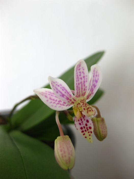 Phalaenopsis_finleyi_pien_OP_IMG_9756.jpg