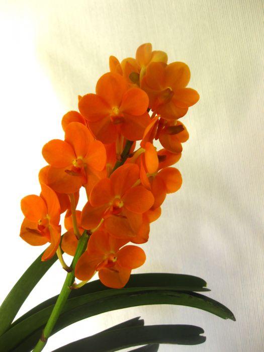 Oranssi_vanda_kukka_OP_72_pien_IMG_9882.jpg