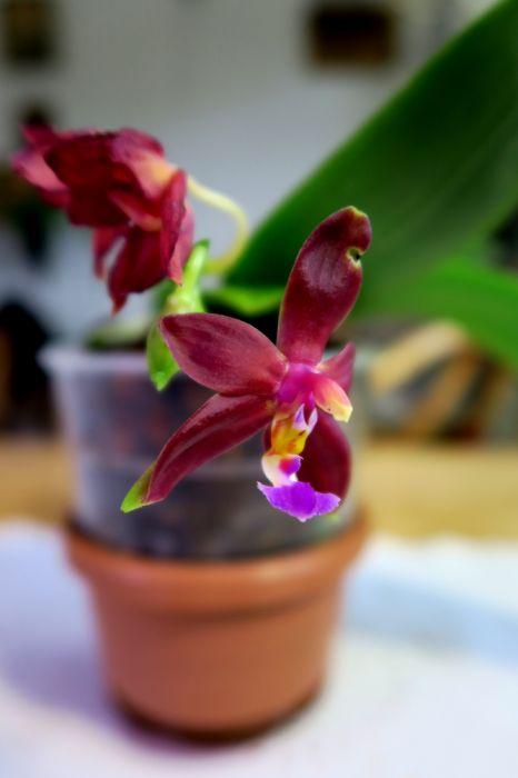 Phalaenopsis_bellina_Ponkan_x_P._mannii_Black_OP_pien_IMG_2419.jpg
