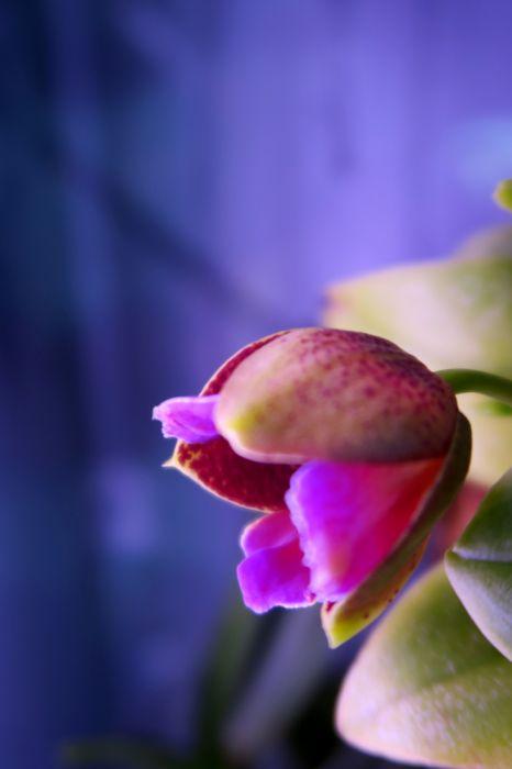 Phalaenopsis_Monsteri_nupulla_OP_pien_IMG_2876.jpg