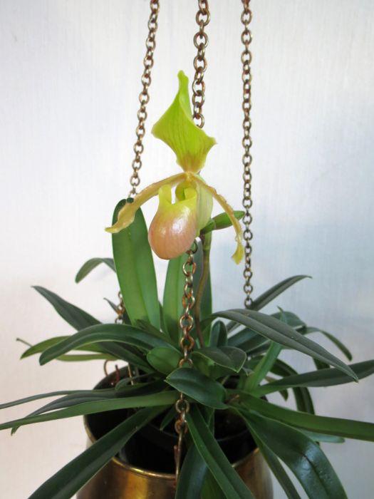 Phalaenopsis_Lyro_Petit_Fleur_barbigerum_x_primulinum_pien_OP_IMG_0297.jpg