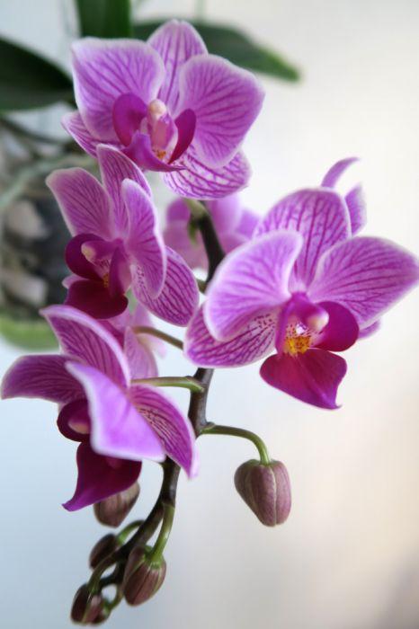 Phalaenopsis_Sogo_x_pien_OP_IMG_3126.jpg