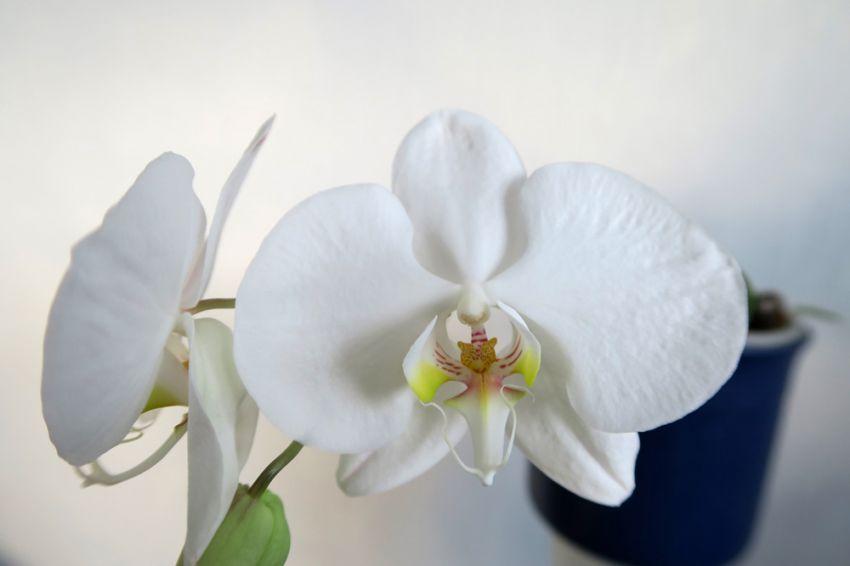 Phalaenopsis_amabilis_celebes_OP_pien_IMG_3094-–-kopio.jpg