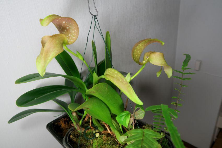 Bulbophyllum_grandiflorum_OP_pien_IMG_3608.jpg