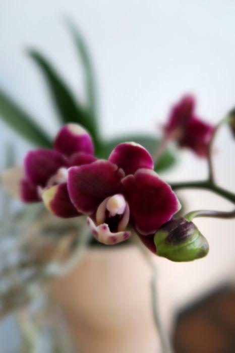Phalaenopsis_Chiada_Gloria_Chiayi_OP_pien_IMG_3480.jpg
