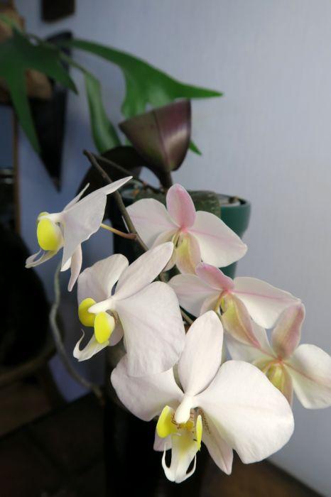 Phalaenopsis_philippinensis_OP_pien_IMG_3346.jpg