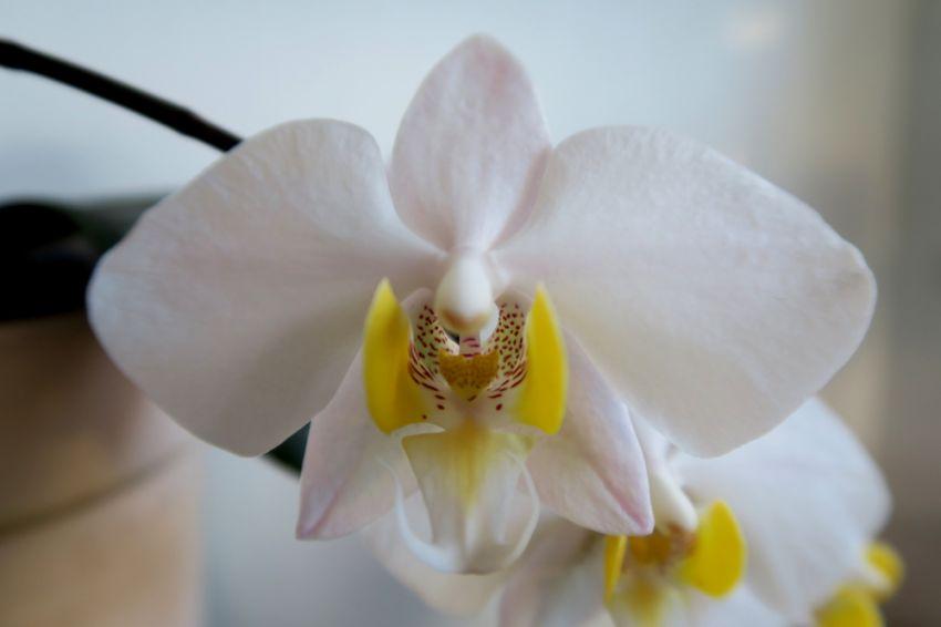 Phalaenopsis_philippinensis_lähi_OP_pien_IMG_3473.jpg