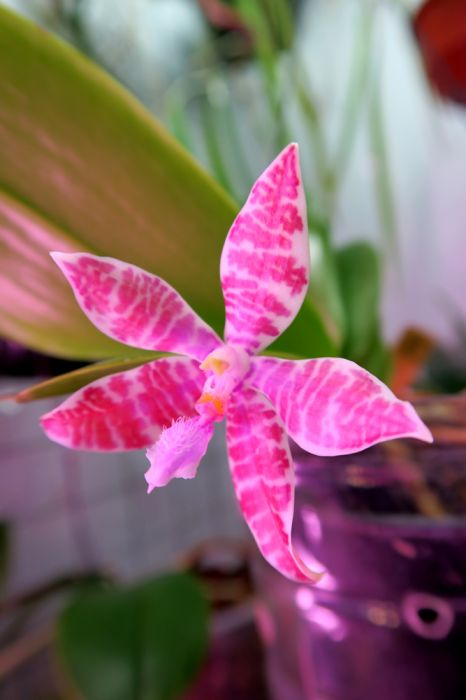Phalaenopsis_väärä_corningiana_WössnerGlanz_OP_pien_IMG_3522.jpg