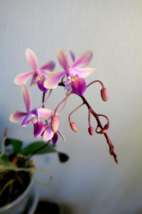 Phalaenopsis_Venus_equestris_x_lindenii_OP_pien_IMG_4477.jpg
