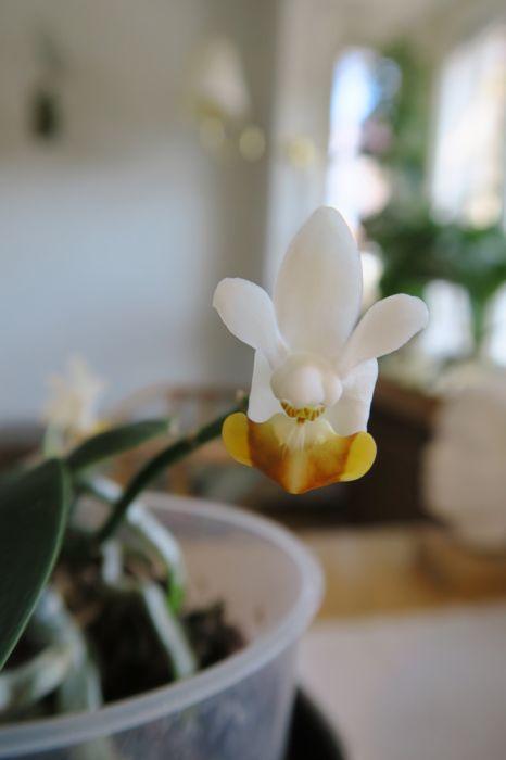 Phalaenopsis_lobbii_OP_pien_IMG_4321.jpg