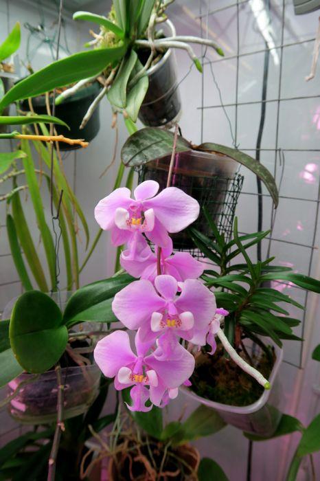 Phalaenopsis_schilleriana_OP_pien_IMG_4370.jpg