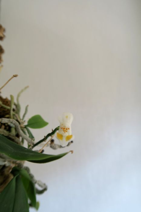 Phalaenopsis_thailandica_OP_pien_IMG_4312.jpg