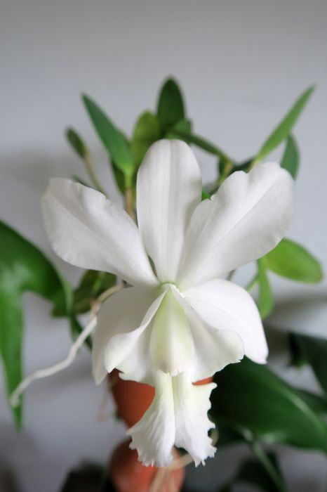 Cattleya_Walkerinter_OP_pien_IMG_4933.jpg