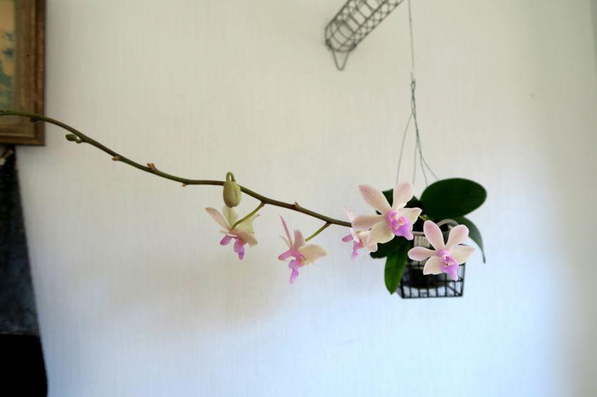 Phalaenopsis_Orchidom_Nancy_pien_OP_IMG_4844.jpg