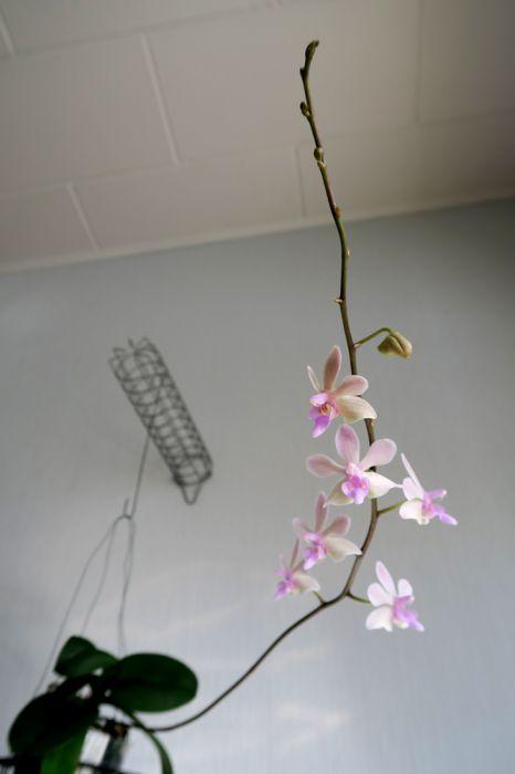 Phalaenopsis_Orchidom_Nancy_pulcherrima_x_stobartiana_OP_pien_IMG_4828.jpg