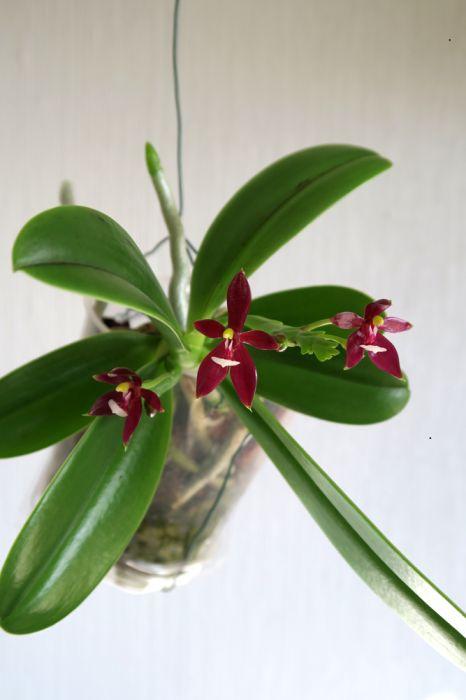 Phalaenopsis_cornu-cervi_Chattaladae_OP_pien_IMG_4827.jpg