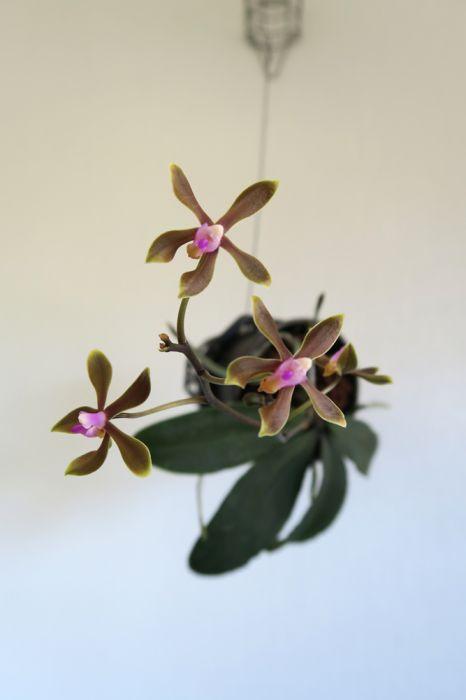 Phalaenopsis_taenialis_pien_OP_IMG_4868.jpg