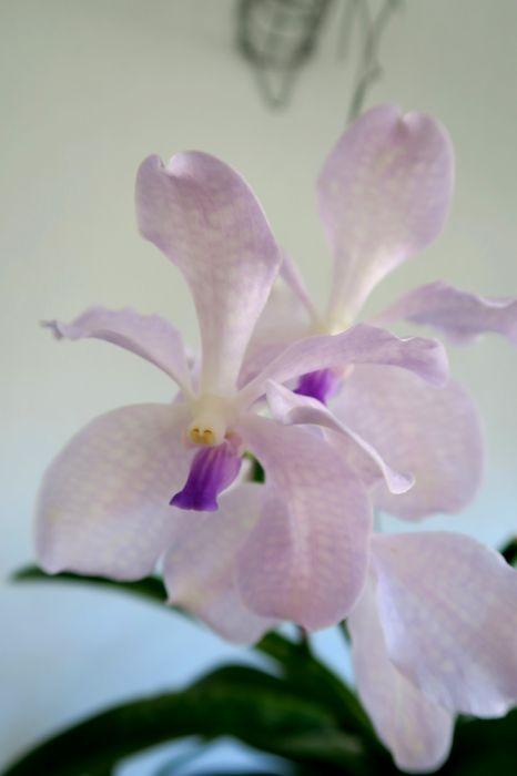 Vanda_Lavender_Mist_pien_OP_IMG_4570.jpg