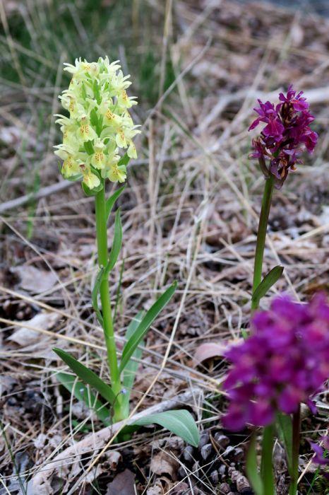 Dactylorhiza_sambucina_yhteis_Houtskär_OP_pien_IMG_5278.jpg