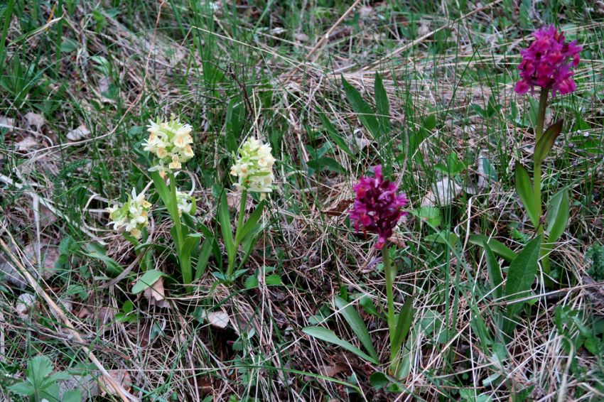 Dactylorhiza_sambucina_yhteis_Houtskär_OP_pien_IMG_5319.jpg