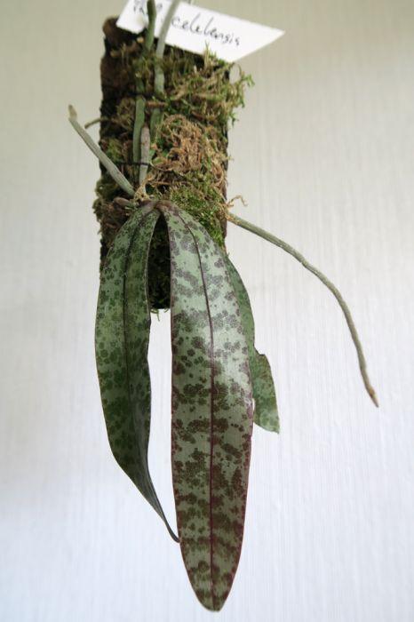 Phalaenopsis_celebensis_W_pien_OP_IMG_5476.jpg