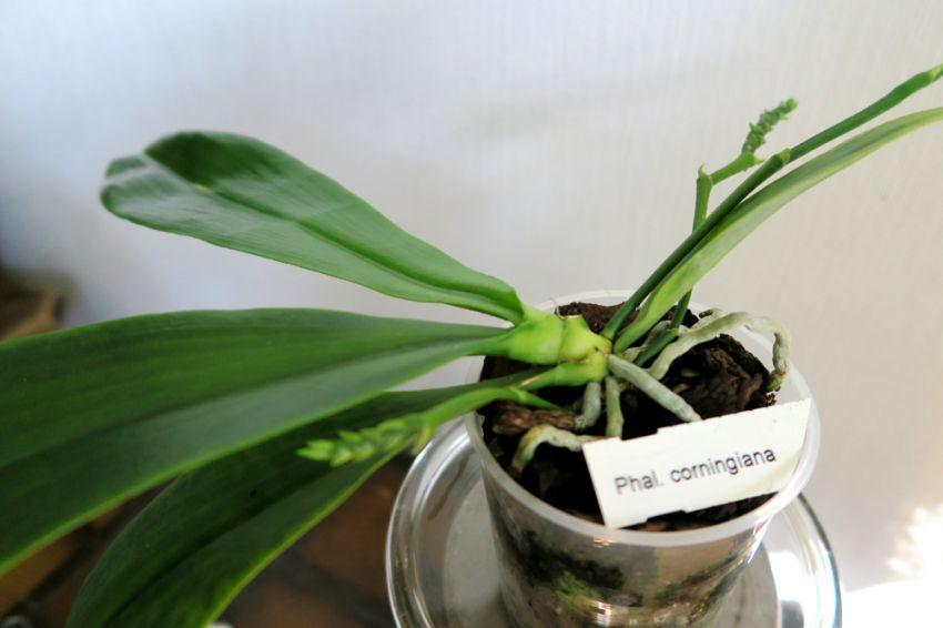 Phalaenopsis_corningiana_W_pien_OP_IMG_5471.jpg