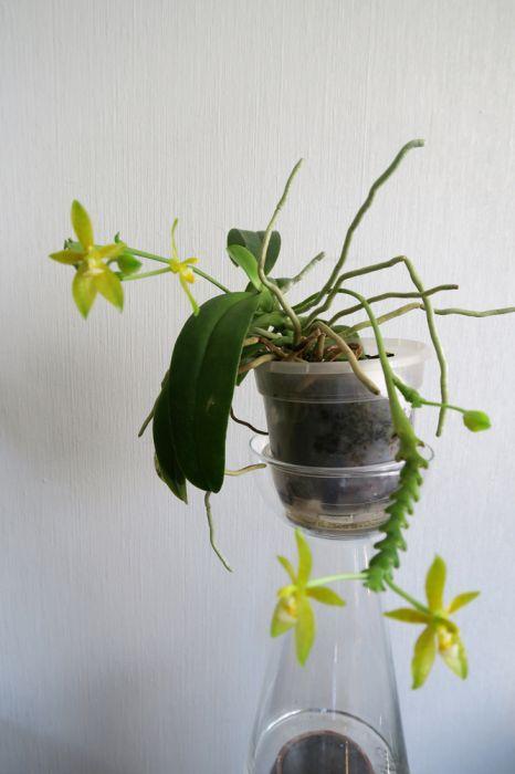 Phalaenopsis_cornu-cervi_flava_koko_pien_OP_IMG_5005.jpg