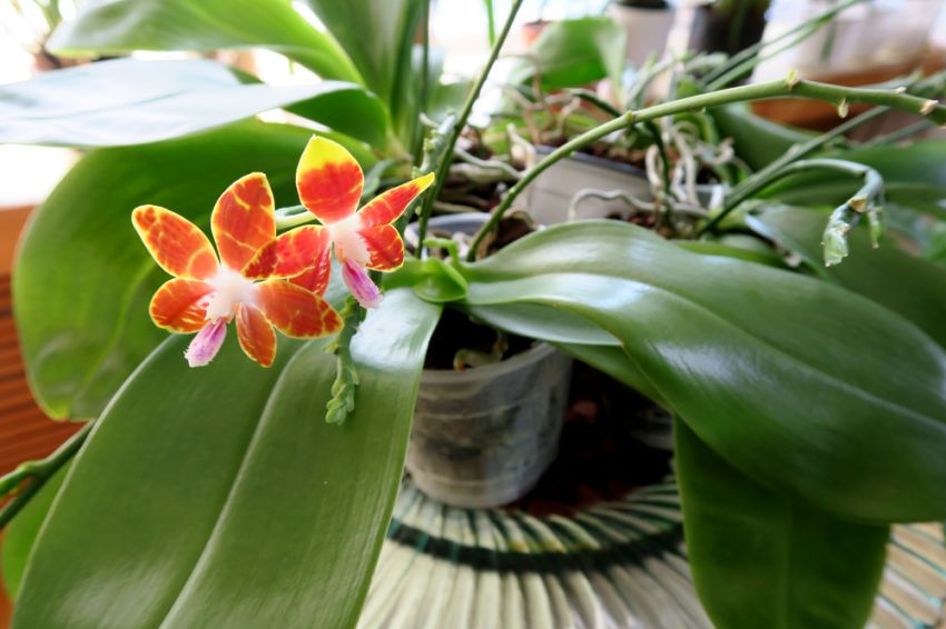 Phalaenopsis_speciosaxvenosa_OP_pien_IMG_5000.jpg