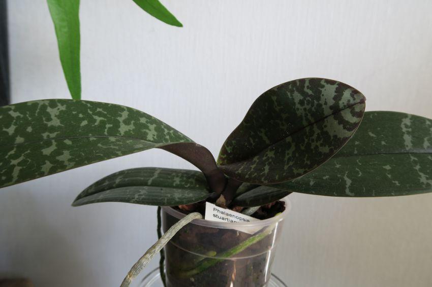 Phalaenopsis_stuartiana_W_OP_IMG_5473.jpg