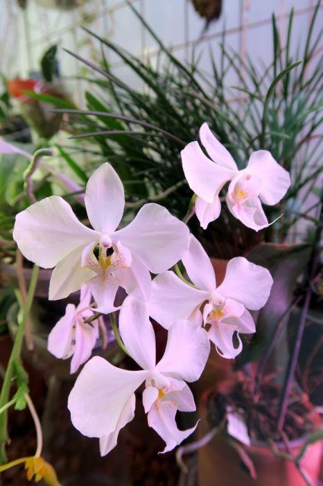 Phalaenopsis_x_amphitrite_sanderiana_x_sturartiana_pien2_IMG_6339.jpg