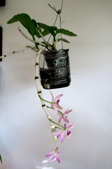 Dendrobium_parishii_pien_OP_IMG_7158.jpg