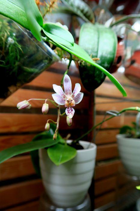 Phalaenopsis_Donnas_Delight_equestris_x_P._finleyi_OP_pien_IMG_6692.jpg