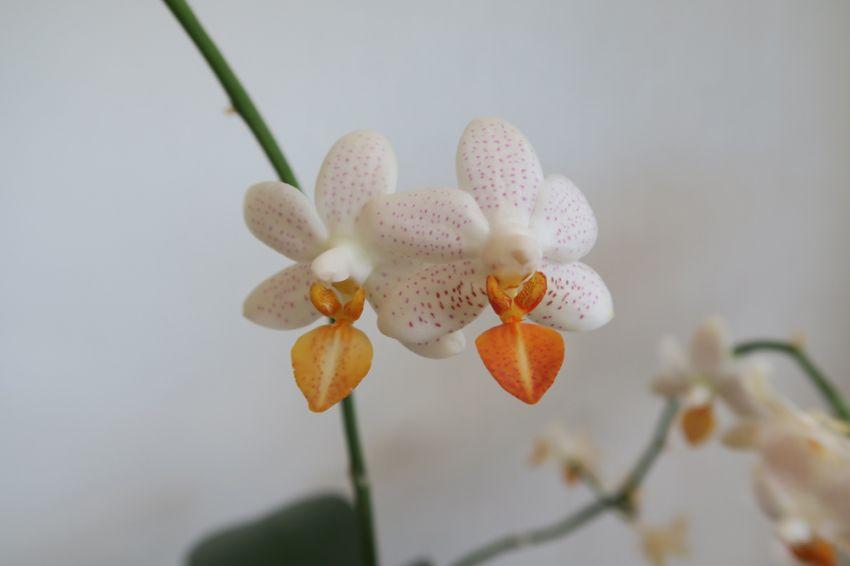 Phalaenopsis_MiniMark_OP_pien_IMG_7231.jpg