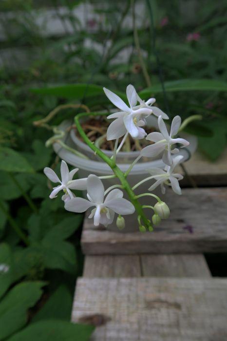 Phalaenopsis_equestris_alba_pien_OP_IMG_7379.jpg