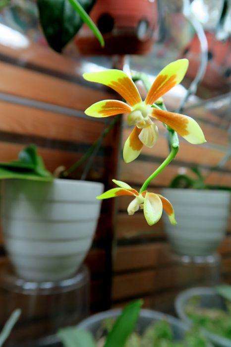 Phalaenopsis_fuscata_OP_pien_IMG_6690.jpg