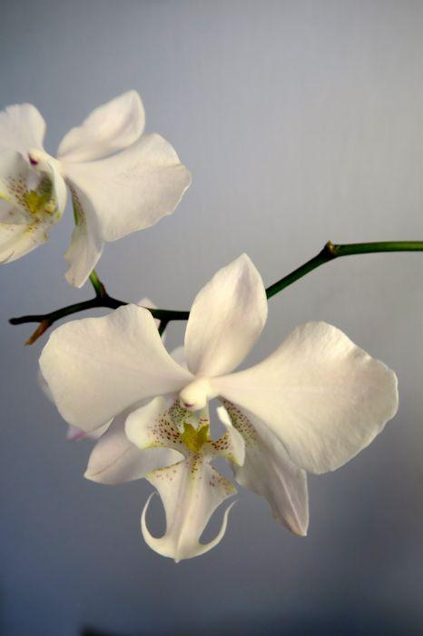 Phalaenopsis_x-amphitrite_sanderiana-stuartiana_OP_pien_IMG_6730.jpg