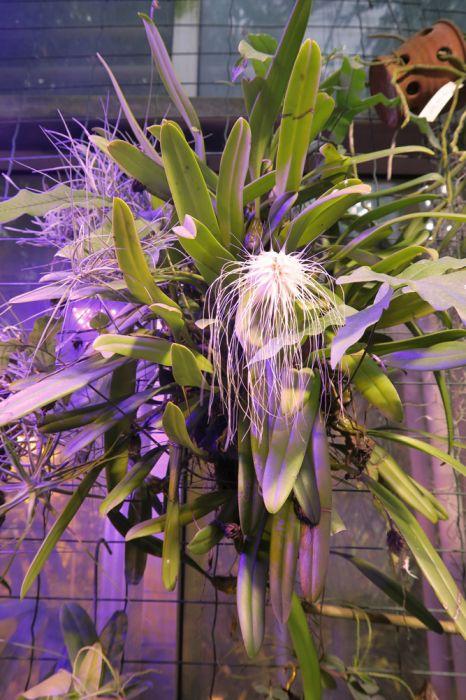 Bulbophyllum_medusae_OP_pien_IMG_7777.jpg