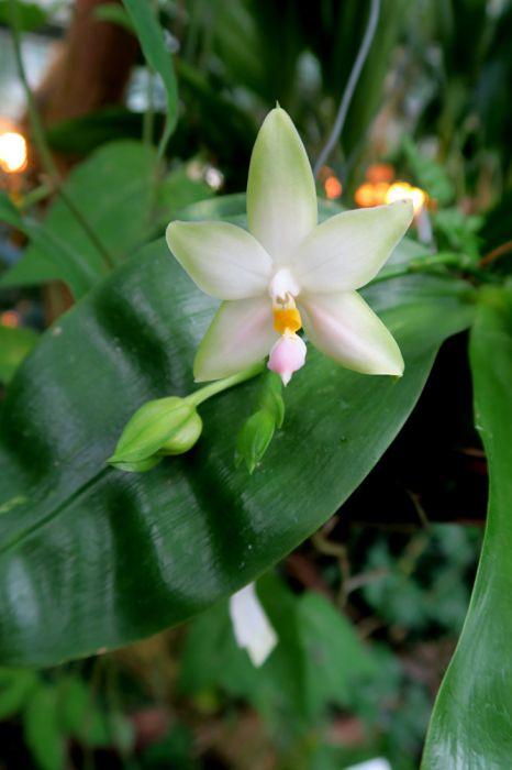 Phalaenopsis_violacea_alba_pien_OP_IMG_7781.jpg