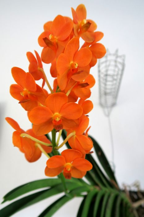 Vanda_Miss_Orange_koko_OP_pien_IMG_7506.jpg